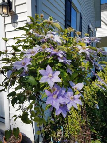 Clematis in full bloom