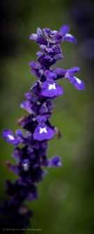 Purple flowers - thank you Gary Walter Photography!