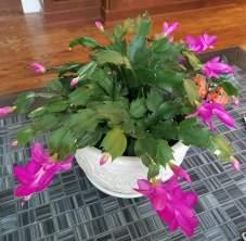 Christmas Cactus blooming in November